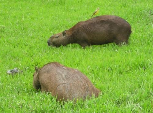 Capibara o Chiguiro