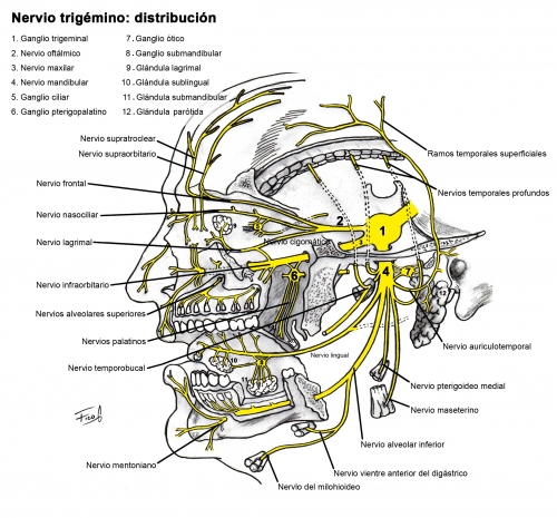 Nervio Trigémino | ODONTOLEARN