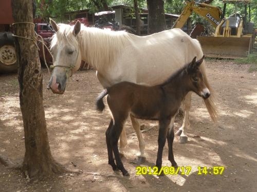 de Grupo de Zootecnia > Preciosa mulita (hija de yegua con burro